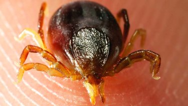 Ticks found on pets should be removed immediately, with the animal brought in for treatment.