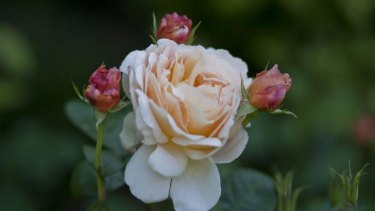 Many varieties: Rosa Tamora rose in Sandra McMahon's garden