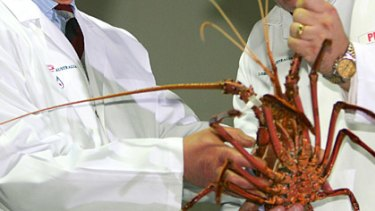 Restriction are supposed to help protect the sustainability of the western rock lobster fishery.