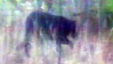 A picture of the animal thought to be roaming bushland in Sydney's west.