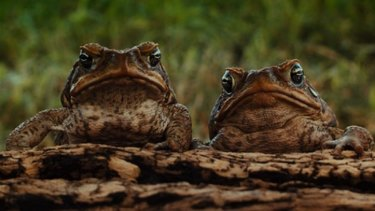 It just takes two: The scourge of the cane toad is given funny-serious treatment in the superb Mark Lewis documentary Cane Toads: The Conquest.