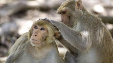 Cells from several rhesus monkey embryos were fused together.