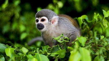 Home to a dizzying diversity of wildlife ...  the squirrel monkey.