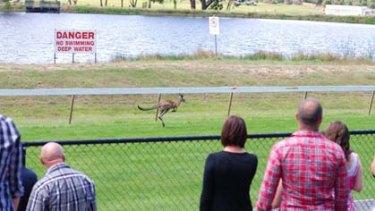 A kangaroo runs its lone race at Hanging Rock.