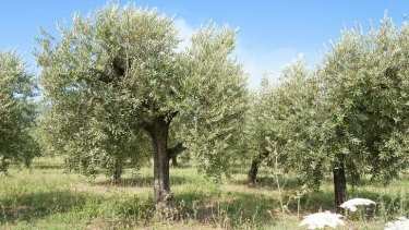 Jackie French has 54 new olive trees ready to plant.
