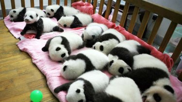 A group of giant panda cubs napping at a nursery  in the research base of the Giant Panda Breeding Centre in Chengdu, in south-west China's Sichuan province.
