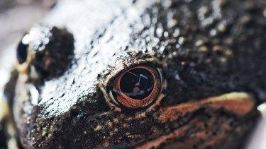 A Pobblebonk frog.