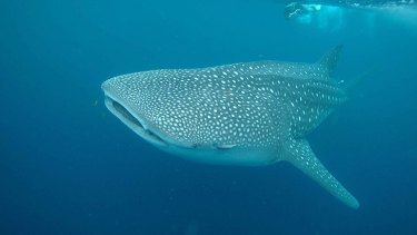 A whale shark has been spotted just 500 metres from a popular Perth beach. <i>Credit: Rob Harcourt, Macquarie University. (File Photo) </i>