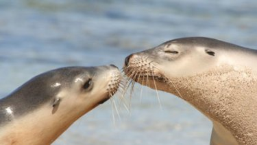 Heaven scent ... a mother Australian sea lion sniffs her pup after returning to her  colony from a foraging expedition.