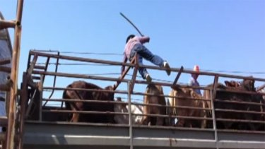 An image taken from the video appears to show cattle being belted with spike-tipped poles.