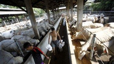 Australian cattle at a feedlot run by the firm PT Tanjung Unggul Mandiri in Tangerang, 25 kilometres west of Jakarta.