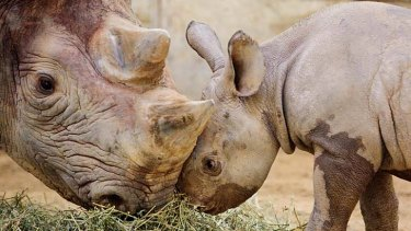 Inge, a black rhinoceros, nuzzles her daughter at Cleveland Zoo. A subsepecies of the western black rhino is now extinct.
