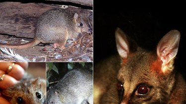 Into oblivion . . . some of the disappearing native mammals: (clockwise from above) burrowing bettong, a possum, northern brown bandicoot and northern quoll.