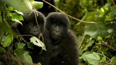 Young eastern mountain gorillas in Virunga National Park.