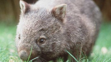 Gold excavation could pave the way for an open-cut mine that would damage the wombat forest.