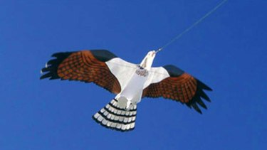 The very Hawk-like kites of Bird Gard Australia.