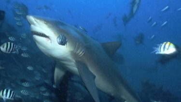 A peculiar expression ... one of the bull sharks at Shark Reef Marine Reserve in Fiji.