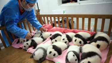 A keeper tucks in a group of giant panda cubs as they nap at a nursery in the research base of the Giant Panda Breeding Centre in Chengdu, in south-west China's Sichuan province.