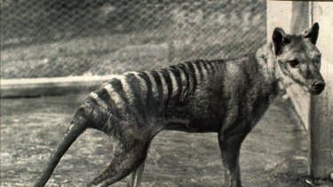 The last known Tasmanian tiger, seen in 1936, the year it died in a Hobart zoo.