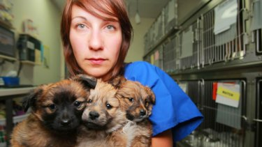 Belinda Russo, an animal management officer at Lort Smith Animal Hospital, holds three puppies she says were dumped by backyard breeders.