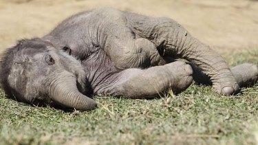 Advice... elephants could eat pest grass.