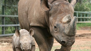 Save the rhinos ... Swiss-born philanthropist Nicolaus 'Nicky' Hahn is on a conservation mission.