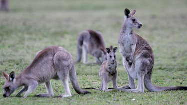 Is kangaroo meat as healthy as we think it is?