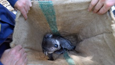 The male koala caught in Somers on Thursday was weighed, measured and given a GPS collar to wear before being released.