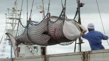 A minke whale is unloaded at a port on the island of Hokkaido.