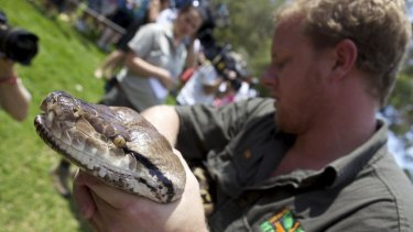 Reticulated python Atomic Betty during her annual weigh-in.