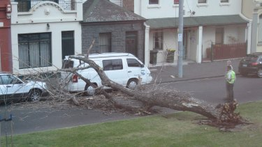 Strong winds toppled this tree in Drummond St, Carlton today. Picture:  Age reader Natasha Morgan.