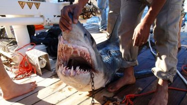 Caught ... a shark believed to have attacked tourists.