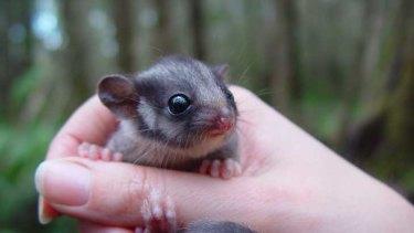 Endangered: Leadbeater's possum.