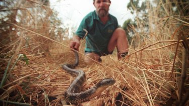 A snake catcher releasing a tiger snake he recovered from a Melbourne backyard.
