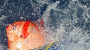An opah is released with sensors to track temperatures as it dives off the California coast.