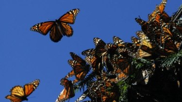Once abundant in huge numbers, fewer monarch butterflies are taking flight.