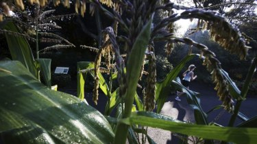 Corn is growing unusually well for this time of the year at the Royal Botanic Gardens.