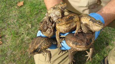 It was once thought the brain of a cane toad remained warm enough to feel pain while the rest of their body froze.