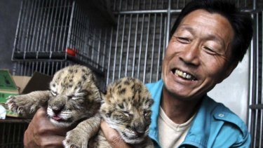 A zoo worker in China shows the two liger cubs.