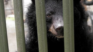 Beastly business … a bear at Chengdu's China Bear Rescue Centre.