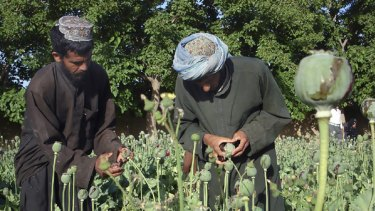 Lucrative... farmers collect resin from poppies in Helmand province.