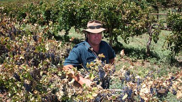 Grape grower Lou Bennett with some of his crop scorched in the recent hot weather. He estimates about 30 per cent of his crop has failed, burnt dry by the sun.