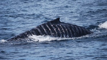 Scars from a revolving propeller mark the skin of a humpback whale nicknamed Bladerunner.