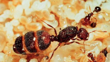 A queen fire ant.