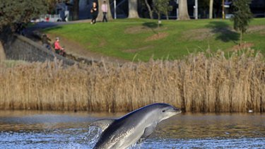 One of the dolphins spotted in the Yarra River.