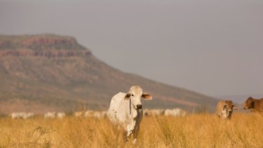 Queensland's most widespread drought ever is sending a near record number of cattle to feedlots.