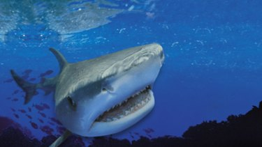 A file picture of a tiger shark.