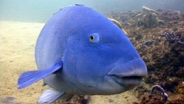 Battling: While swimming at Clovelly, Christa likes to check up on a little blue Groper. P