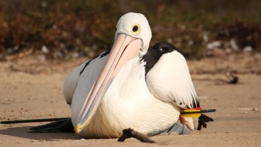 A pelican found injured after being shot with an arrow.