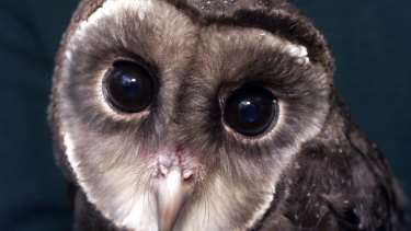A sooty owl.